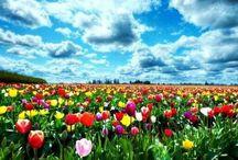 Flower..Tulips