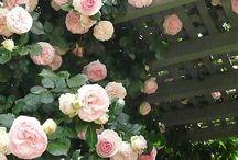 Rosae pulcherrimae sunt.