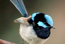 My blue wrens !!!