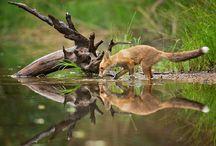 Les goupils et autres renards