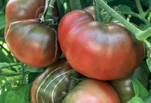 Best tomatoes for California Gardeners / Please post pins with pictures of your favorite tomatoes for your California garden. Rules: name the tomato variety; describe where you live (city or valley); and describe why you like the variety (flavor, disease resistance, productivity, etc.). To post on this board, email ann@gardenzeus.com and you will be added as a collaborator. Pins not following these rules will be deleted.
