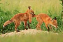 Fox / by Cyranetta