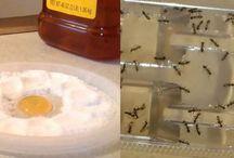 astus insectes