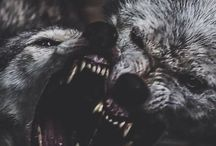 wolf wolves