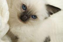 Gatos siameses / Imágenes de gatos siameses