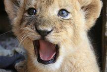 Félin / Lion & tigre