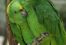 Amazon Parrot / Amazon parrot is the common name for parrots of the genus Amazona. These are medium-sized parrots native to the New World ranging from South America to Mexico and the Caribbean.