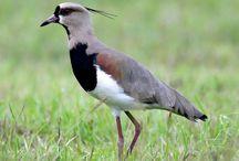Birds of Uruguay