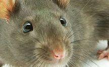 astuces rats