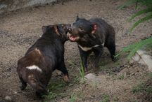 Our Tasmanian Devils / Everyday shenanigans of two Tasmanian Devil brothers. / by Los Angeles Zoo