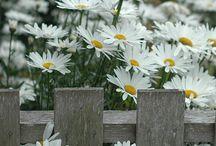 Marguerites...smiles on a stem... / daisies daisies daisies