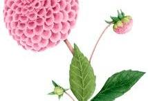pom pom chrysanthemum