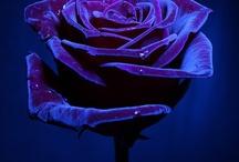 dark blue rose illa