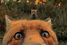 Fox / Pena que come galinhas! haha  #raposa