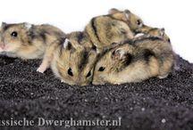 Rusjes in Lavazand / Het hamsterverblijf veranderd, er worden steeds vaker natuurlijke bodembedekkers gebruikt en ook komt zand steeds meer in trek. Dit zijn foto's van Russische Dwerghamsters in Lacazand. #hamster #dwerghamster #russischedwerghamster