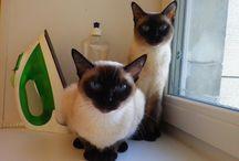 Мои любимые тайские кошки