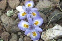 Flowers of the Drakensberg
