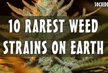 Rarest Weed Strains