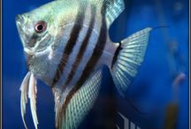 Philippine Blue Zebra Angelfish