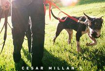 Cesar Millan - the Packleader