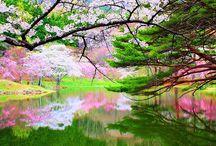 Japani, kirsikat