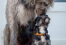irský vlkodav