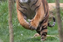 lion, tigre, panthère etc...