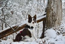 Winter Border Collie Pics