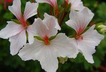 samos çiçeği