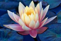Flor de Loto para el Alma ® |  Lotus Flower for the Soul