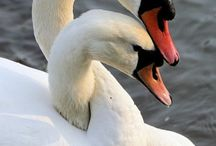 Zwanen...........swans