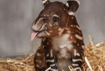 Toffe tapirs