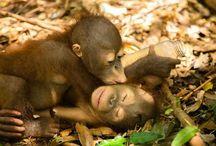 my orangutans