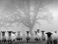 Sheep / by Pat Bozeman