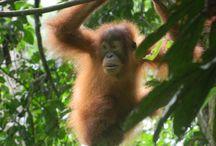 Orangutan / Sumatran Orangutans