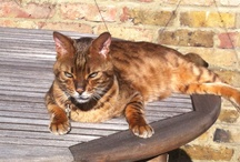 Alfie Bengal  / Alfie our recently adopted Bengal cat