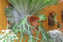 Staghorn ferns and air plants / by Esther Rodriguez