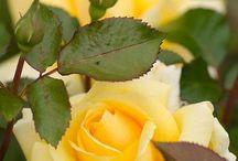 ROSES lovely
