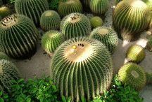 Cactus / by Steve Garufi