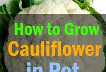 how to grow voliflower in pots
