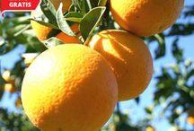 Naranjas de Zumexpress. / Unas naranjas valencianas de primer nivel con Gastos de envío gratis. ¿Cuánto pueden costar? Sólamente 15€/15 kilos, la hemos probado y hemos repetido, ¿os apetece tomar un buen zumo de naranja? entonces sólo tenéis que ir a http://smarturl.it/naranjaszumexpress
