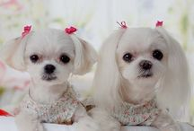 Cute Dogs :: Poodle