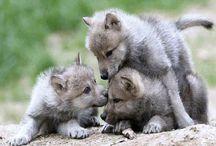Wolf / Susi