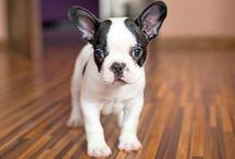 Französische Bulldoggen / Boston Terrier