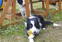 BORDER COLLIE / All about  Border Collies ! Smart and beauty !   / by Marisol Rodriguez