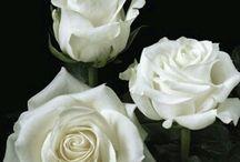 beautyful rose for u