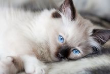 Ragdoll Cats / Everything you need to know about ragdoll cats