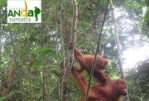 Sumatran Orangutan / This is a collection of images of the Sumatran orangutan, which can be seen when it comes to North Sumatra. visit: http://www.andasumatra.com/