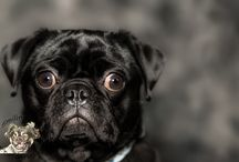 Polo Uno the Pug / Polo Uno the black pug.
