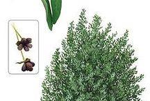 Flora canelo